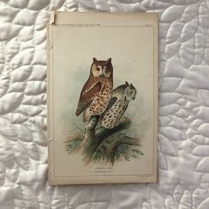 1889 Screech Owl Bird Print Antique